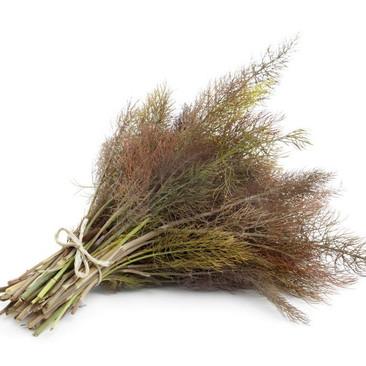 Botanical - Foeniculum vulgare