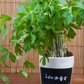 Botanical - Levisticum officinale