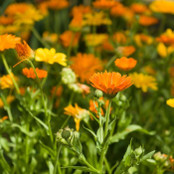 Botanical - Calendula officinalis