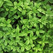 Botanical - Mentha spicata