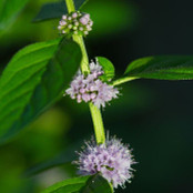 Botanical - Mentha pulegium