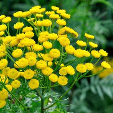 Botanical - Tanacetum vulgare