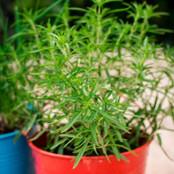 Botanical - Artemisia dracunculus