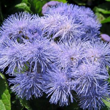 Botanical - Ageratum houstonianum