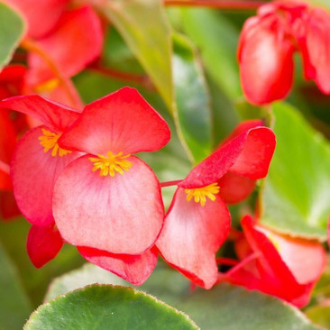 Botanical - Begoniaceae
