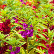 Botanical - Impatiens balsamina