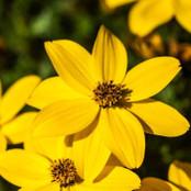 Botanical - Bidens ferulifolia