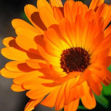 Botanical - Calendula officinalis