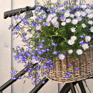 Botanical - Brachyscome