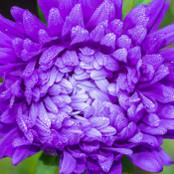 Botanical - Callistephus chinensis