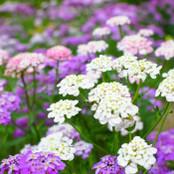 Botanical - Iberis umbellata