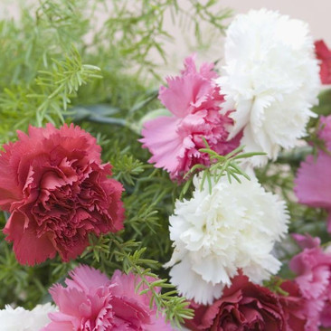 Botanical - Dianthus