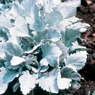 Botanical - Senecio cineraria