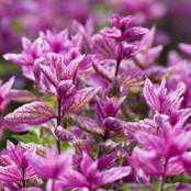 Botanical - Salvia viridis