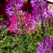 Botanical - Cleome hasslerianna