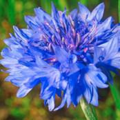 Botanical - Centaurea cyanus