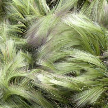 Botanical - Hordeum