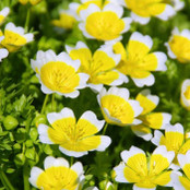 Botanical - Limnanthaceae