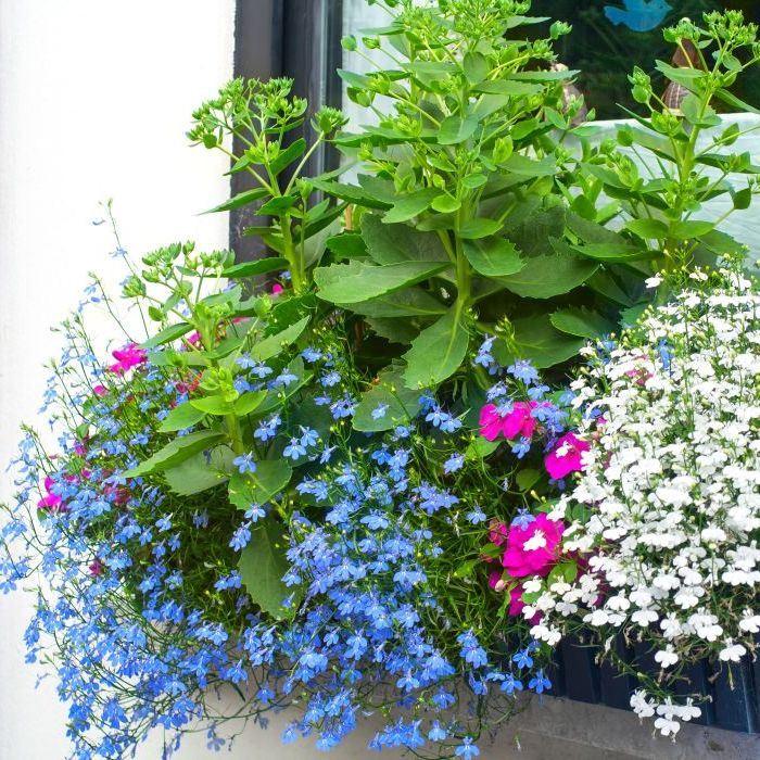 Lobelia Seeds Cambridge Blue Groseeds