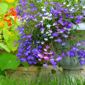 Botanical - Lobelia erinus