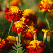 Botanical - Tagetes patula