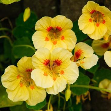 Botanical - Tropaeolum majus
