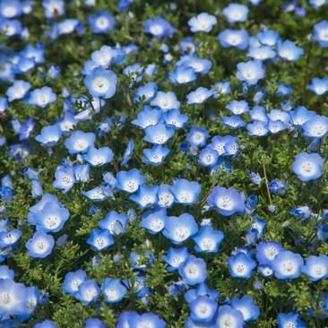Botanical - Nemophila menziesii