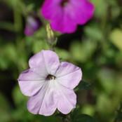 Botanical - Solanaceae