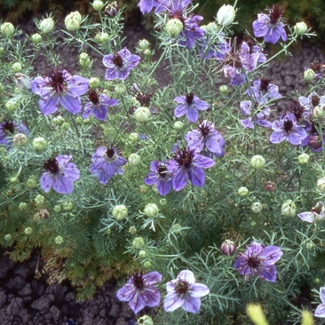 Botanical - Nigella damascena
