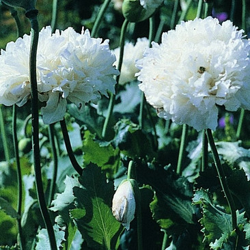 Botanical - Papaver somniferum