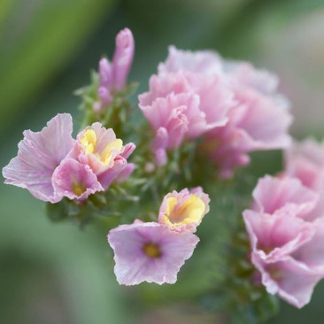 Botanical - Limonium sinuatum