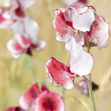Botanical - Lathyrus odoratus