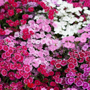 Botanical - Dianthus barbatus