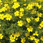 Botanical - Tagetes tenuifolia