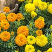 Botanical - Tagetes erecta