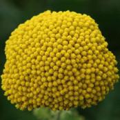 Botanical - Achillea millefolium