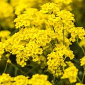 Botanical - Lobularia maritima