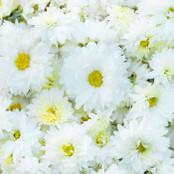 Botanical - Leucanthemum