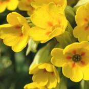 Botanical - Primula veris