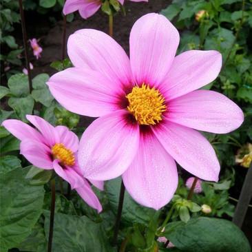 Botanical - Asteraceae / Compositae
