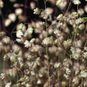 Botanical - Gramineae / Poaceae