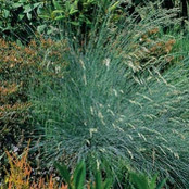 Botanical - Gramineae / Poaceae