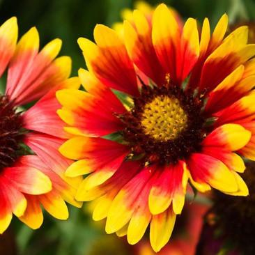 Botanical - Asteraceae