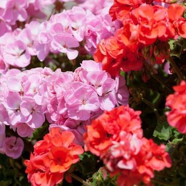 Botanical - Pelargonium