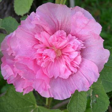 Botanical - Alcea