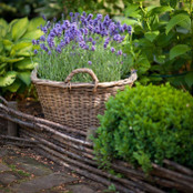 Botanical - Lavandula angustifolia