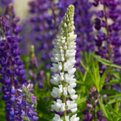 Botanical - Lupinus