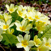 Botanical - Primulaceae