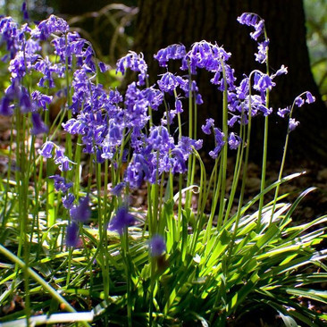 Botanical -  Hyacinthoides non-scripta