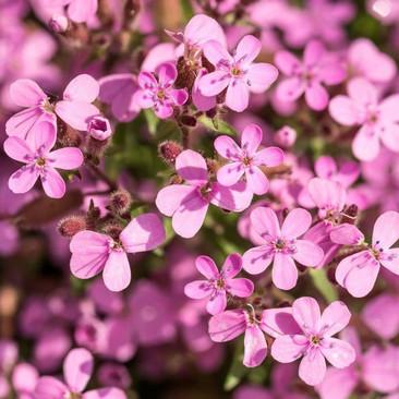 Botanical - Saponaria